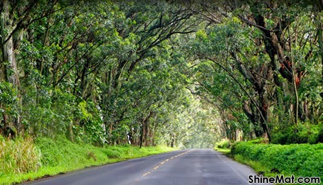 Tree Tunnel, Maluhia Road, Koloa Town, Kauai, Hawaii