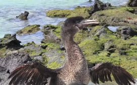 [Amazing]Facts of flightless Cormorant.