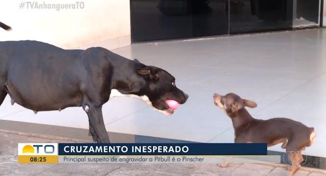 Pinscher é 'suspeito' de engravidar cadela pitbull