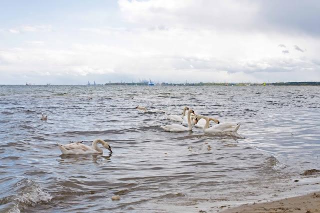 łabędzie w Sopocie, widok na zatokę gdańską