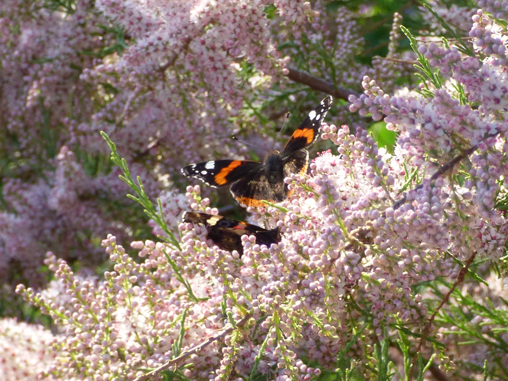 Two butterflies meet in a flowery bush