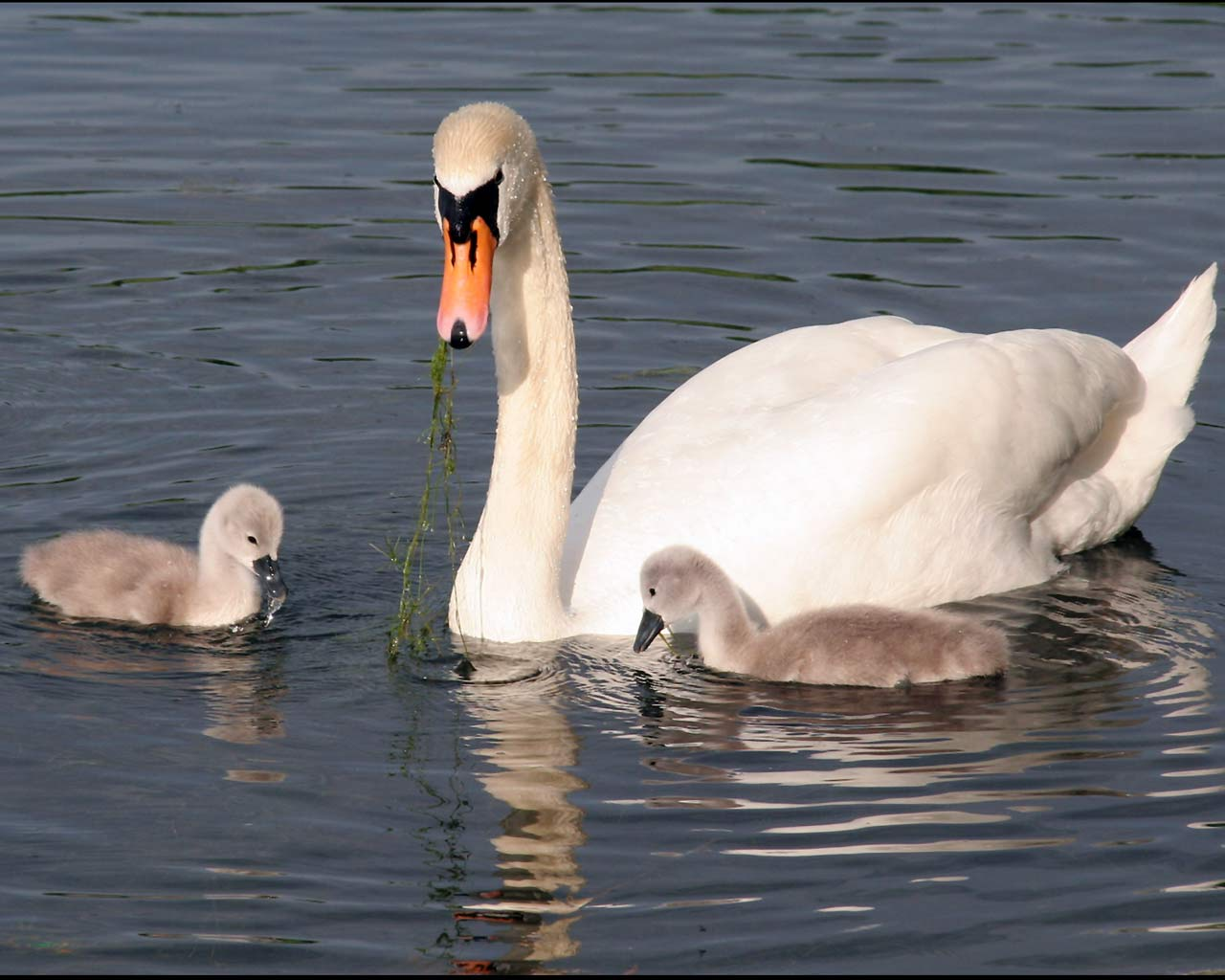 Group Of Swans Called 79