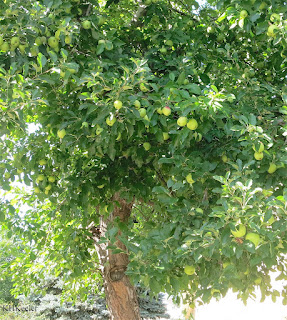 apple tree, Malus domestica