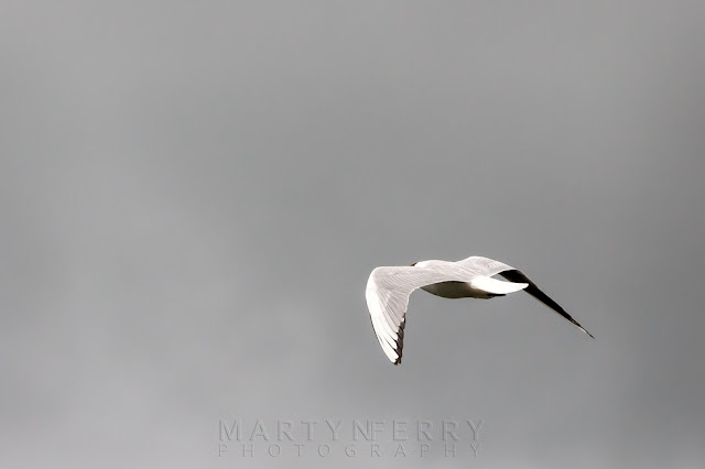 Black-headed gull flies away from the camera towards stormy skies