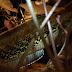 Jenis jenis snakehead fish (Channidae family)