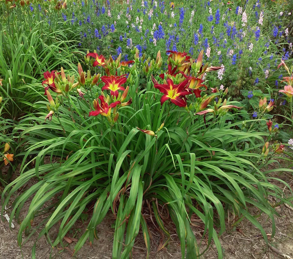 Daylilybreeder the daylily as art part 7 the plant that has low branch count and moderate bud count but high scape to fan ratio with scapes held just above the foliage creating a profusion of flowers izmirmasajfo Images