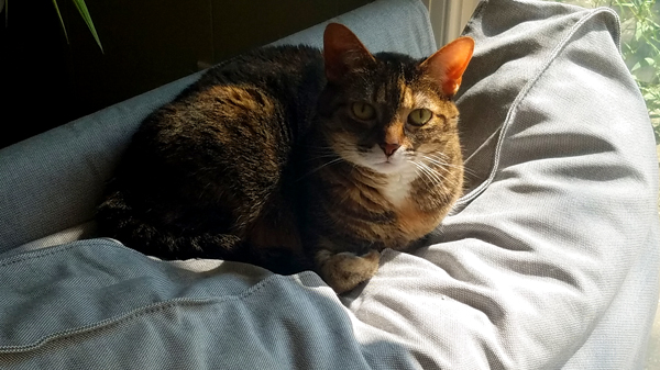 image of Sophie the Torbie Cat curled up on the back of the chaise, looking at me