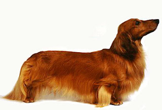Pictures Of Long Haired Miniature Dachshunds Cute Puppy Images Pictures