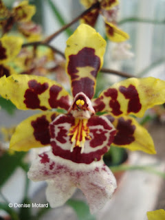 Yellow-purple orchid - Four Seasons Lodge, Lanai