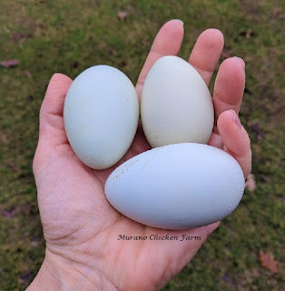 Do fertilized chicken eggs taste different?