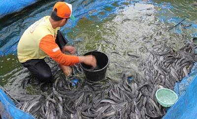 Panduan Lengkap Budidaya Ikan Lele di Kolam Terpal Bagi Pemula