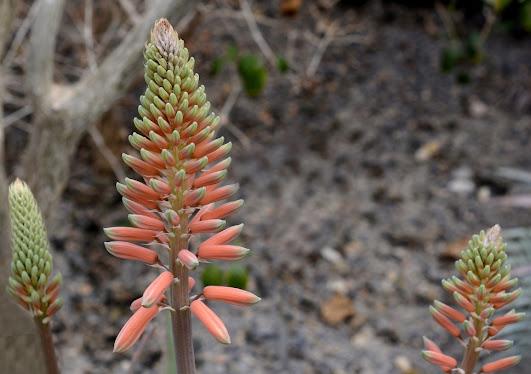 aloevera flower