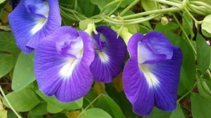 Bunga telang telah lama dikenal sebagai bahan pewarna alami untuk makanan dan minuman Manfaat dan Efek Samping Bunga Telang