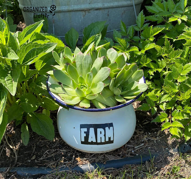 Photo of an enamelware spittoon with Farm Decor Transfer planted with hen & chicks.
