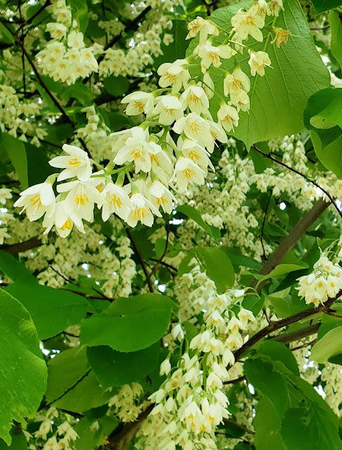 Snowbell flowers