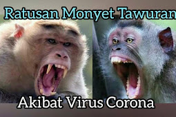 Ratusan Monyet Tawuran Di Jalan