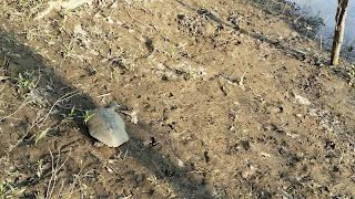 potomac turtle
