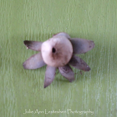 Earthstar Flower Shaped Fungi front side