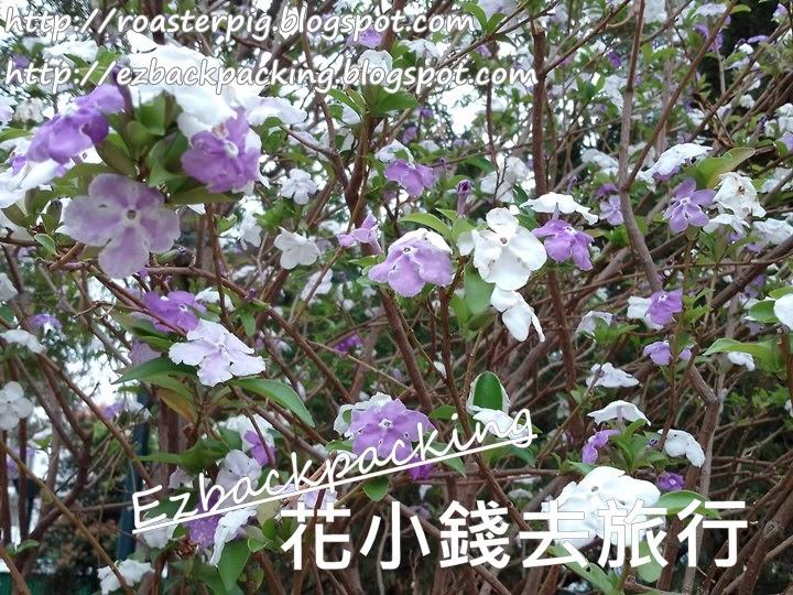 香港鴛鴦茉莉
