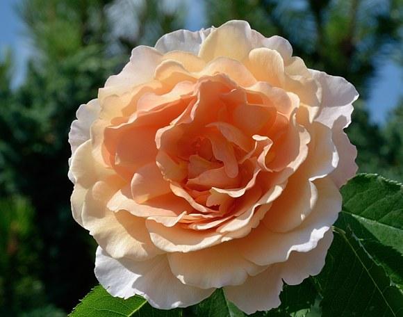 Sonnenwelt сорт розы Кордес фото