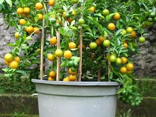 Jeruk Lemon Amankah Untuk Lambung