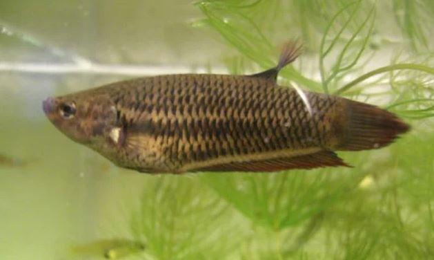Gambar Ikan Cupang Sawah