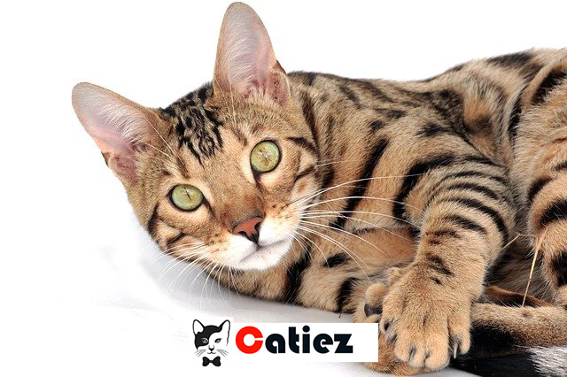 what is the most expensive cats breeds in the world?