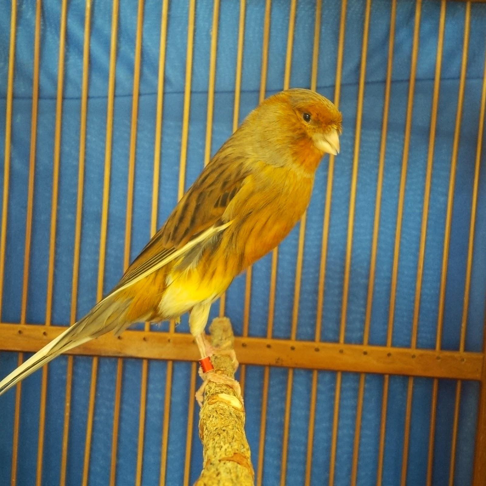 Harga jual beli suara download burung kenari yorkshire ys jantan dan betina. Jual Burung Kenari Yorkshire: Jual burung Kenari Yorkshire