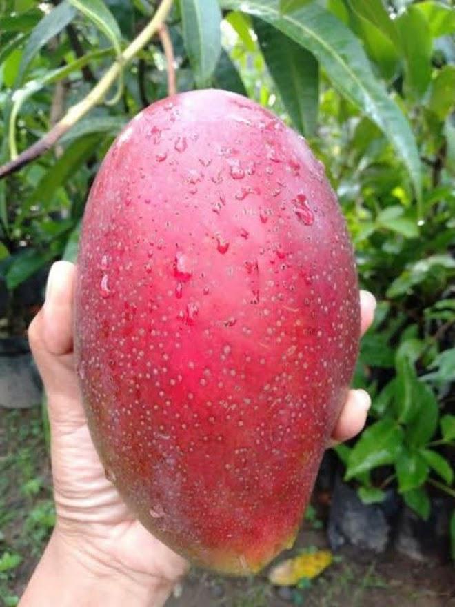 bibit mangga yuwen seri 6 super manis AGRO WISATANI Jawa Timur