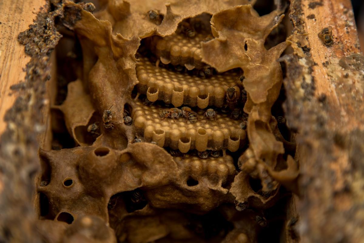 The Kingdom Of The Melipona Bee