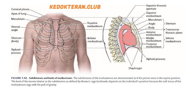 anatomi mediastinum dan perikardium