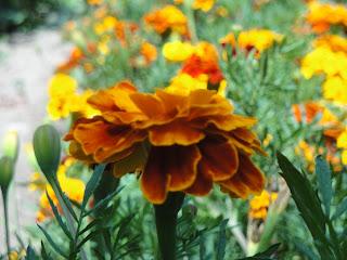 Descubra 20 de flores comestíveis que pode encontrar no seu jardim - Tagetes