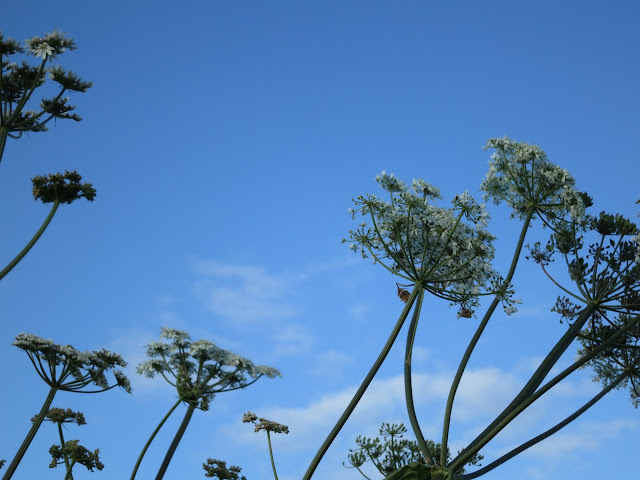 White, umbelliferous flowers blowing sideways in the wind against a blue sky.