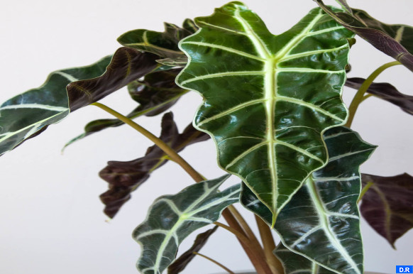"""باحثون صينيون يكتشفون نوعا جديدا من نبات """"ألوكاسيا"""""""