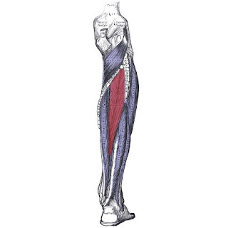 tibialis posterior muscle, action, muscle picture