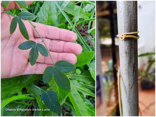 Hojas nuevas / Zarcillo sujetándose para que la planta trepe - Chacra Educativa Santa Lucía