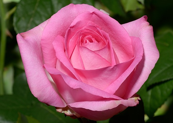 Beverly rose сорт розы фото