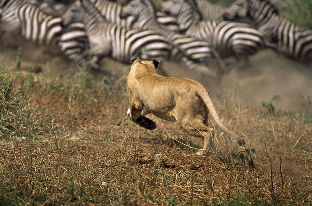 zebras and lions - photo #11