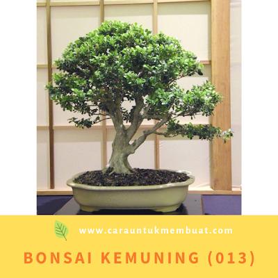Bonsai Kemuning (013)
