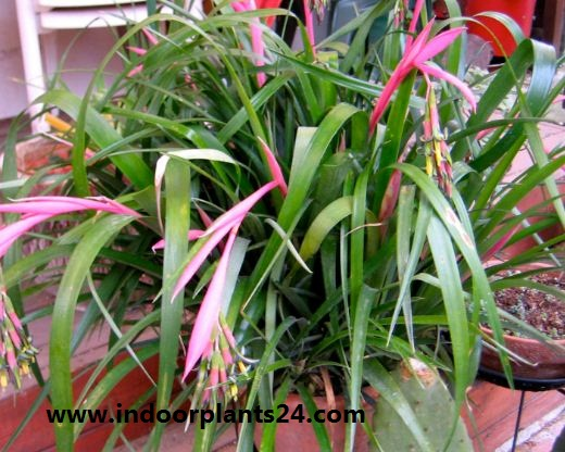 Billbergia Nutans indoor plant