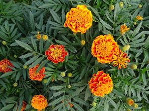 Inilah Cara Budidaya Edible Flowers, Flora Yang Dapat Dibentuk Makanan
