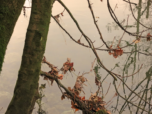 Dead and fallen autumn leaves caught in branches over river - reflections on surface, stones  under water