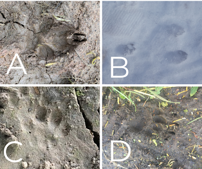Mammal footprints