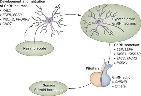 Input Neuronal Dalam Kontrol Sekresi GnRH