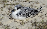 Young Red-tailed Tropicbird on the sand – Nose Ve, Madagascar – July 16, 2014 – photo by John Surrey