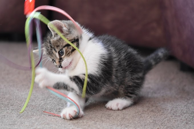 Cat Training With A Clicker