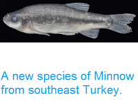 http://sciencythoughts.blogspot.co.uk/2014/06/a-new-species-of-minnow-from-southeast.html