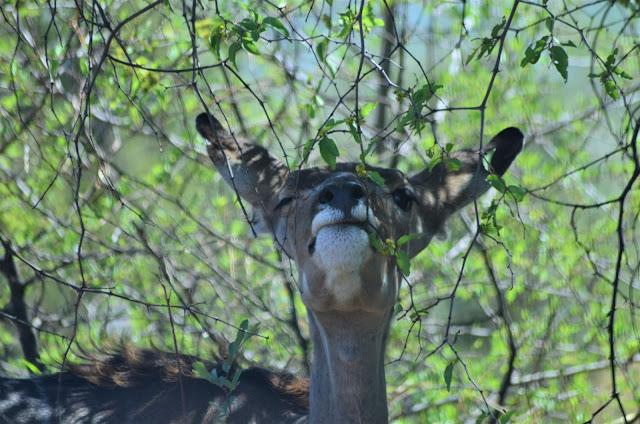Greater Kudu at Pilanesberg National Park, South Africa