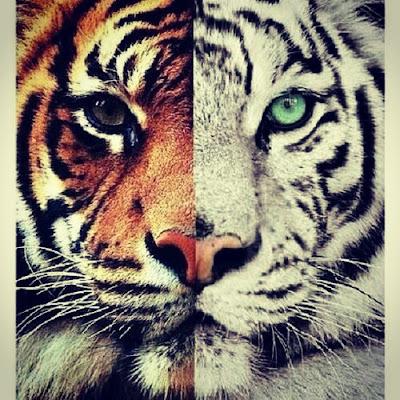 Tigre albino contrastado