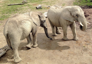 Wild African elephants
